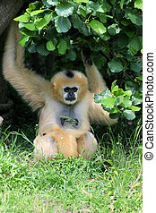 Red brown gibbon with child
