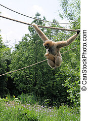 Gibbons - Gibbon jumping with young