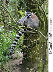 Lemur in tree