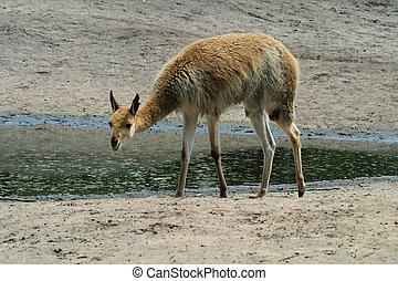 Vicuna near pool