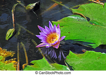 Beautiful Lilly Flower - Lavender coloured lilly bloom...