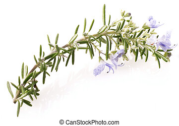 fresh rosemary with flowers - fresh rosemary isolated on the...