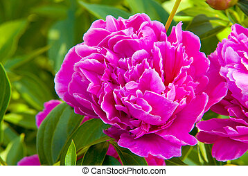 pink peony - bright pink peony in sunny garden close up