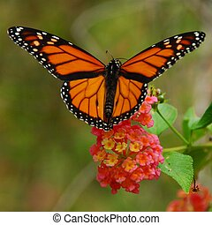 Monarch Butterfly - Monarch butterfly feeding on a lantana...