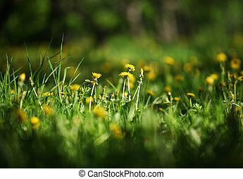 Dandelions - Lawn with long grass, dandelions