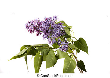 lilac - spirng lilac on white background and green leaf