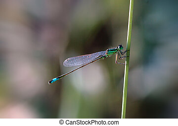 damselfly on riverside grass stem