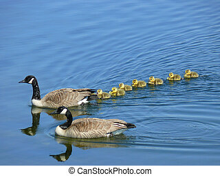 Canadian Goose Family - A family of Canada geese