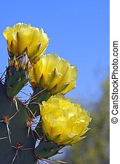 yellow cactus flower - yellow prickly pear cactus flower...