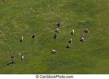 Meine kleine Farm - Eine Kuhherde von der Hohen Wand aus...