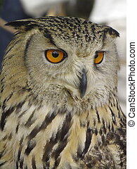Beatiful Owl - Portrait of wise owl with beautiful eyes