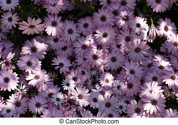 Light Dappled Purple Flowers - Light dappled purple daisies