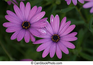 Intensely Purple Daisies - Close-up of two deeply colored...