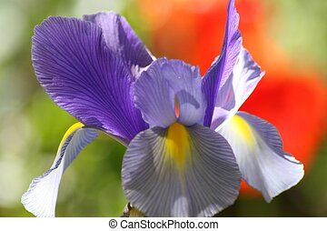 Purple and Yellow Iris - A lovely purple iris against an...