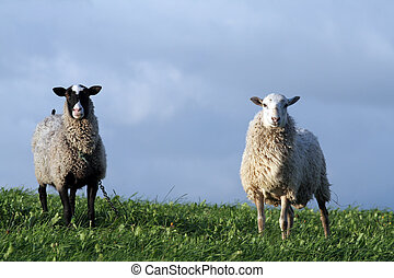 Sheeps - Two sheeps in the field
