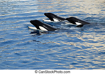 Three killers whales in water