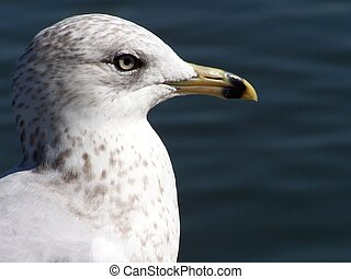 Gull Dignity - Seagull in profile with a pond in the...