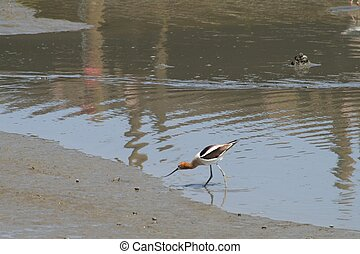 American Avocet by Waters Edge - An American avocet standing...