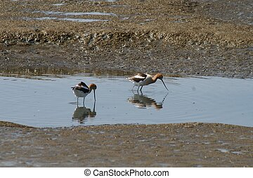 Two Avocets - Two American avocets wading in shallow water,...