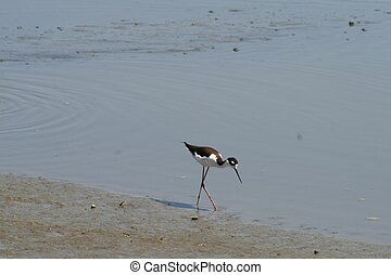 Black Necked Stilt - A black necked stilt at the waters edge