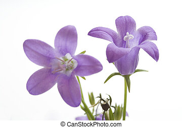 Two Small Purple Bells on White Background - Macro shot of...