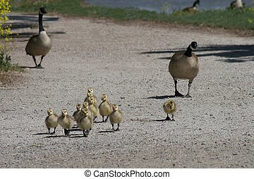 Goose Family - A mother and father goose with their babies,...
