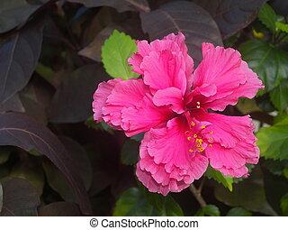 Pink Azalea - Picture of a pink azalea in Cuba