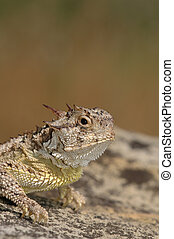 Horny Toad - A Texas horned lizard basks in the warm sun on...