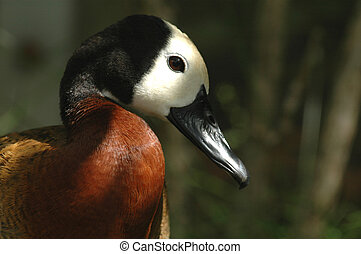 White-faced Tree Duck - A close photograph of an African...