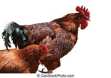 coq, poule