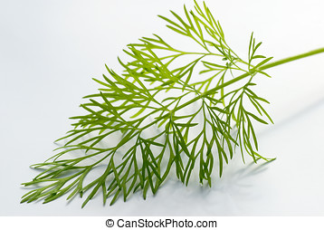 Dill stalk on white against the light