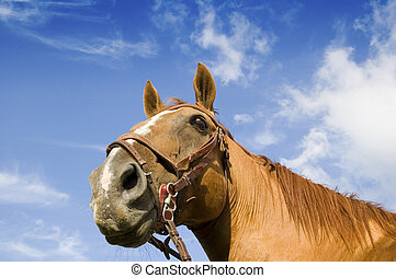 Horse Head - Portrait of a male horse against a blue sky