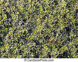 Shrub Texture - Texture, detail of shrub growing in the wild...