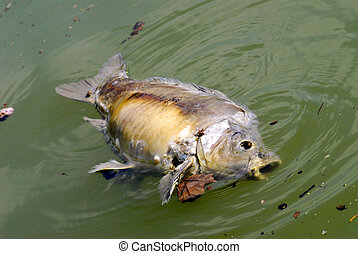 dead fish - Carp died on the surface of water due to...