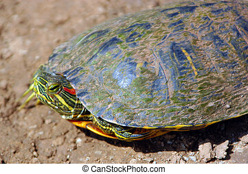 Red-Eared Slider - A red-eared slider searching for a farm...