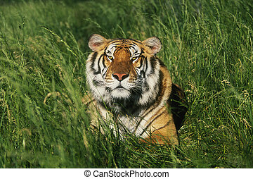 Bengal Tiger Panthera tigris tigris laying in grass
