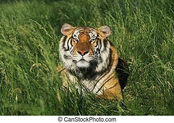 Bengal Tiger (Panthera tigris tigris) laying in grass