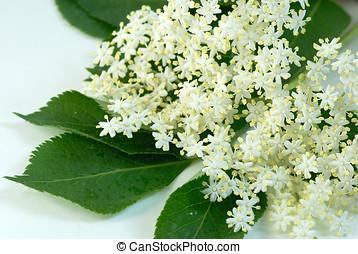 Cluster elder blossoms - Close-up of cluster elder blossoms...