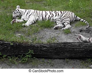 tigre, blanco