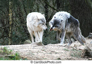 Wolves in Combat - Wolves in combat over territory.