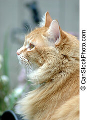 profile view orange cat - A close up profile view of an...