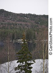 Forest Lake - Pine tree and birches at the front and the...