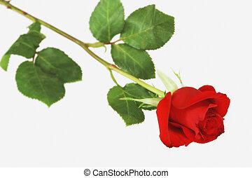 Rose - Single Rose