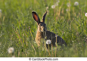 Hare in a field - Picture of a hare sitting in a field- the...