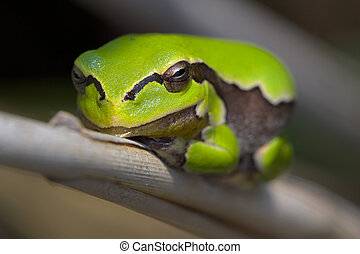 Frog - Picture of small tree frog sitting on a reed.
