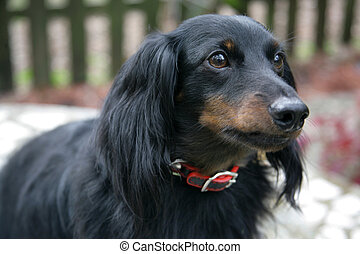 Dachshund Closeup Portrait - Closeup portrait of a young...