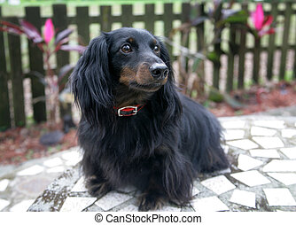 Dachshund Portrait Outdoors - Portrait of an adorable...