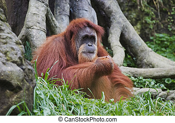 Orangutan Pongo pygmaeus, Borneo, Indonesia - Orangutan...