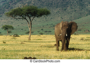 African Elephant Loxodonta africana Native to Central...
