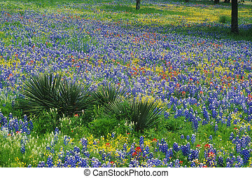 Field of Bluebonnets and Paintbrush, Texas Hill Country